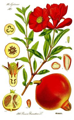 800px-illustration_punica_granatum1